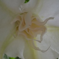 white after rain